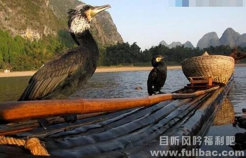 鱼鹰列为非法渔具 只能转型作为民俗表演节目